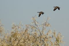 Pair of Canada Geese Flying Over the Wetlands Stock Photo