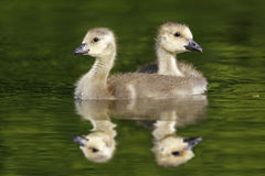 Pair of Canada Geese Goslings Royalty Free Stock Photos