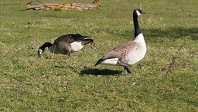 Pair of Canada geese grazing grass. stock footage