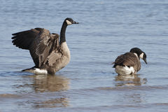 Pair of Canada Geese - Lake Huron Stock Photo