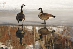 Pair of Canada Geese with Lovely Reflection Stock Photography