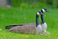 Pair of Canada Geese protect their babies. Stock Images
