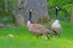 Pair of Canada Geese protect their babies. Royalty Free Stock Photography