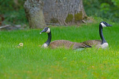 A pair of Canada Geese protect their babies. Royalty Free Stock Photos