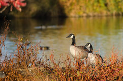 Pair of Canada Geese Resting Beside the Autumn Lake Royalty Free Stock Images