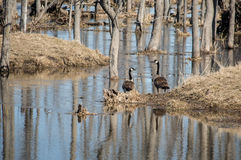 Pair of Canada geese by swamp stock photography