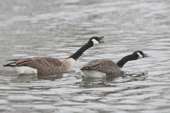 Pair of Canada Goose, Branta canadensis Stock Photo
