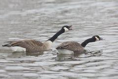 Pair of Canada Goose, Branta canadensis Stock Photo