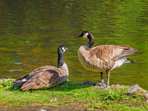 Pair of Canada goose near the lake, looking at each other Royalty Free Stock Photo
