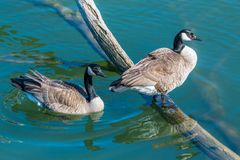 A pair of Canadian Geese. At the beginning of mating season at the Lake Renwick Preserve in Plainfield, Illinois stock images