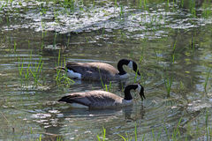 A Pair of Canadian Geese Royalty Free Stock Photo
