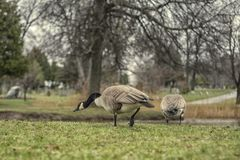 Pair of Canadian geese on lake stock image