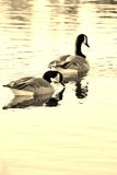 Pair of Canadian Geese. Canadian Geese on a lake in Sepia tone royalty free stock photo