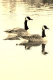 Pair of Canadian Geese. Canadian Geese on a lake in Sepia tone royalty free stock image