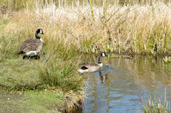 Pair of Canadian geese in the sunshine entering a lake Stock Images