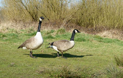 Pair of Canadian geese in the sunshine Stock Images