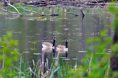 Pair of Canadian Geese Royalty Free Stock Photos
