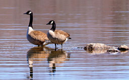 Canadian Geese wading in a lake stock images