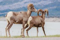 Wildlife Couple Stock Photo