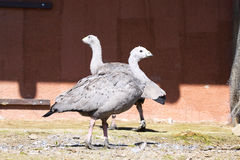 Pair Cape Barren Goose, Cereopsis novaeholladiae,. One pair Cape Barren Goose, Cereopsis novaeholladiae Royalty Free Stock Photography
