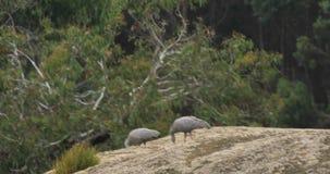 Pair of Cape Barren Goose, Cereopsis novaehollandiae 4K. A Pair of Cape Barren Goose, Cereopsis novaehollandiae 4K stock video