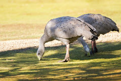 A pair of Cape Barren Island Geese foraging grass for food on gr Stock Image
