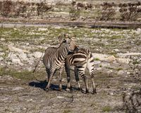 Cape Mountain Zebras. A pair of Cape Mountain Zebra standing in a burn area in Southern Africa royalty free stock images