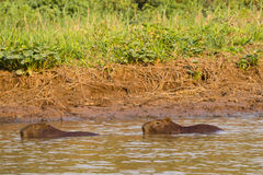 Pair of Capybara Swimming Partially Submerged along Riverbank. The very social and gregarious Capybara is seen here at various ages  grouped along the muddy Stock Photo