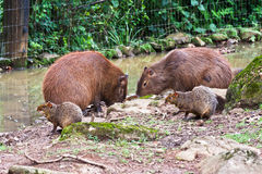 Pair of Capybaras with Cubs Royalty Free Stock Photo