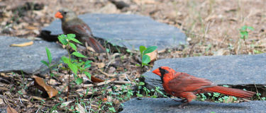 Pair of Cardinals-Focus on the Male Stock Photos