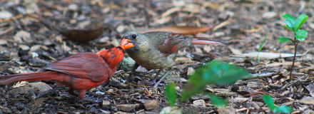 Pair of Cardinals-Male feeds female Royalty Free Stock Photo