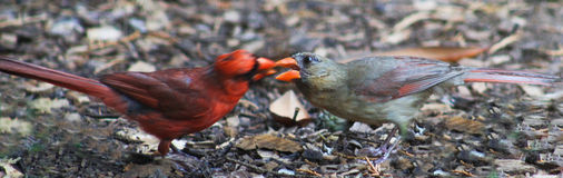 Pair of Cardinals-quick exchange Royalty Free Stock Photo