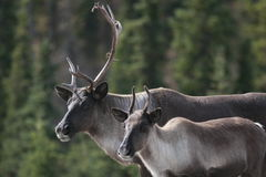 Pair of Caribou along the Alaska Highway. A pair of caribou stand near the Alaska Highway in September in a forest in Yukon Territories, Canada Royalty Free Stock Images