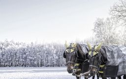 Pair of carriage horses in winter Royalty Free Stock Image