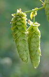 Pair of Cascade Hops on Vine Royalty Free Stock Images