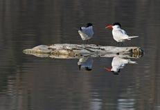 Pair of Caspian Terns Stock Photos