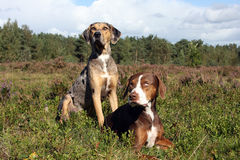 Pair of Catahoula leopard dogs. Portrait of pair of louisiana catahoula leopard dogs Stock Photography