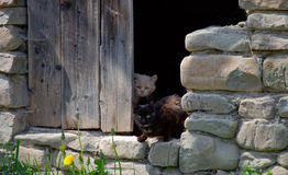 A pair of cats. Looking out of the door of an old stone barn royalty free stock photos