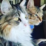 Pair of cats looking at the window. Cats laying down together and looking at the same spot Royalty Free Stock Photos