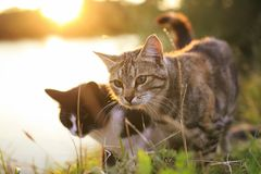 Pair of cats walking in the summer meadow on the background of a royalty free stock photography