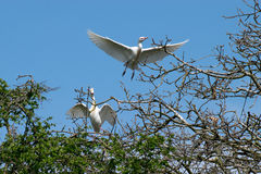 Pair of Cattle Egret flying over branches Royalty Free Stock Photo