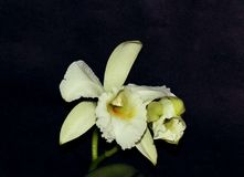 Pair of cattleia orchid flower. Close-up of big and white pair of orchid flower Royalty Free Stock Photo