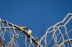 Squabbling Birds. A pair of Cedar Waxwings squabble in a leafless tree Royalty Free Stock Images