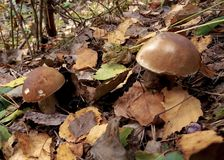A pair of cep on a hillock Stock Photography