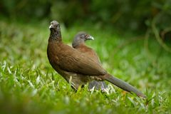 Pair of chachalaca. Grey-headed chachalaca, Ortalis cinereiceps, bird love, exotic tropic bird, forest nature habitat, pink and or stock image