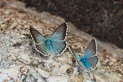 Pair of Chalkhill blue (Polyommatus coridon) butterfly. On the rock Royalty Free Stock Photos