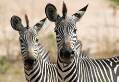 Pair of Chapmans zebra heads looking directly into camera in south luangwa Stock Photography
