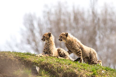 A pair of cheetah cubs Stock Images
