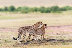 Pair of Cheetah Royalty Free Stock Image