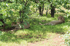 Pair of cheetah resting in the shade Stock Images